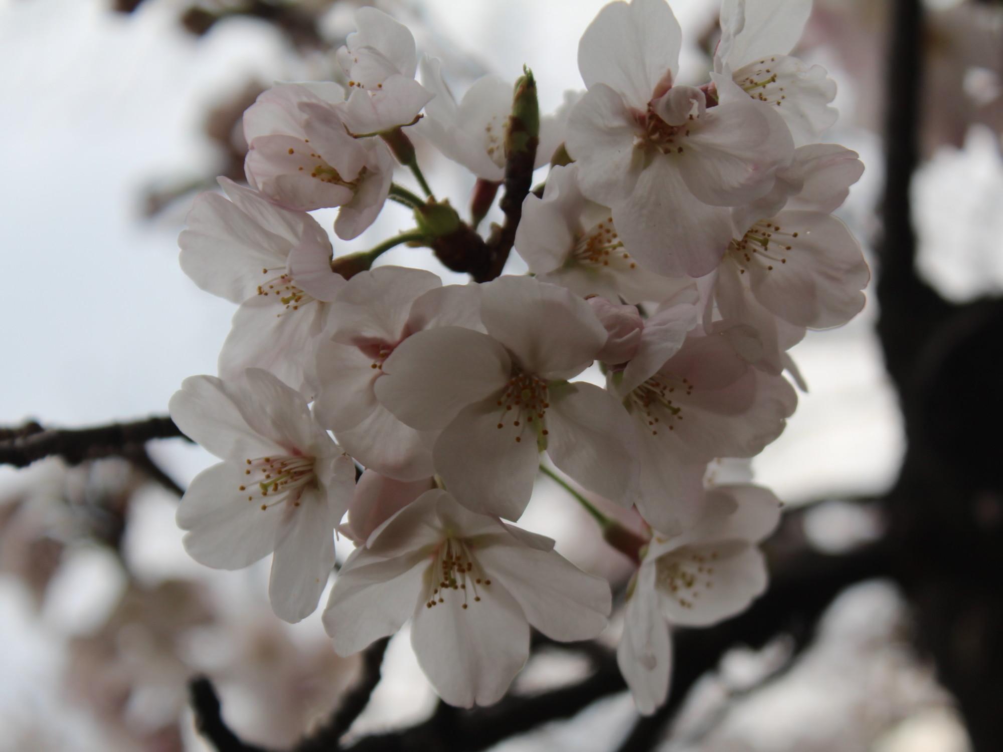 fruehlings erwachen japan